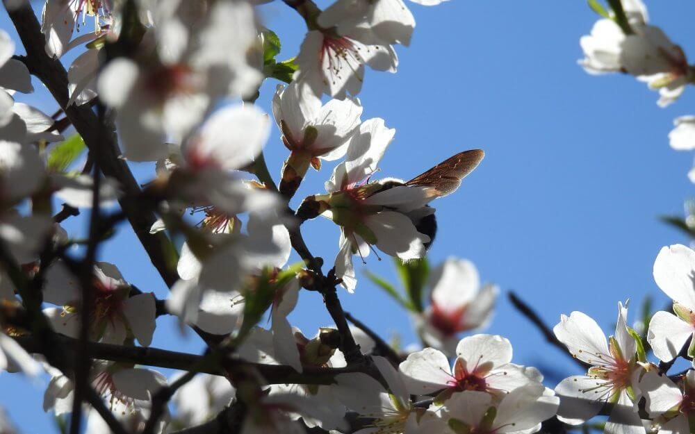Bee foraging on almond blossom