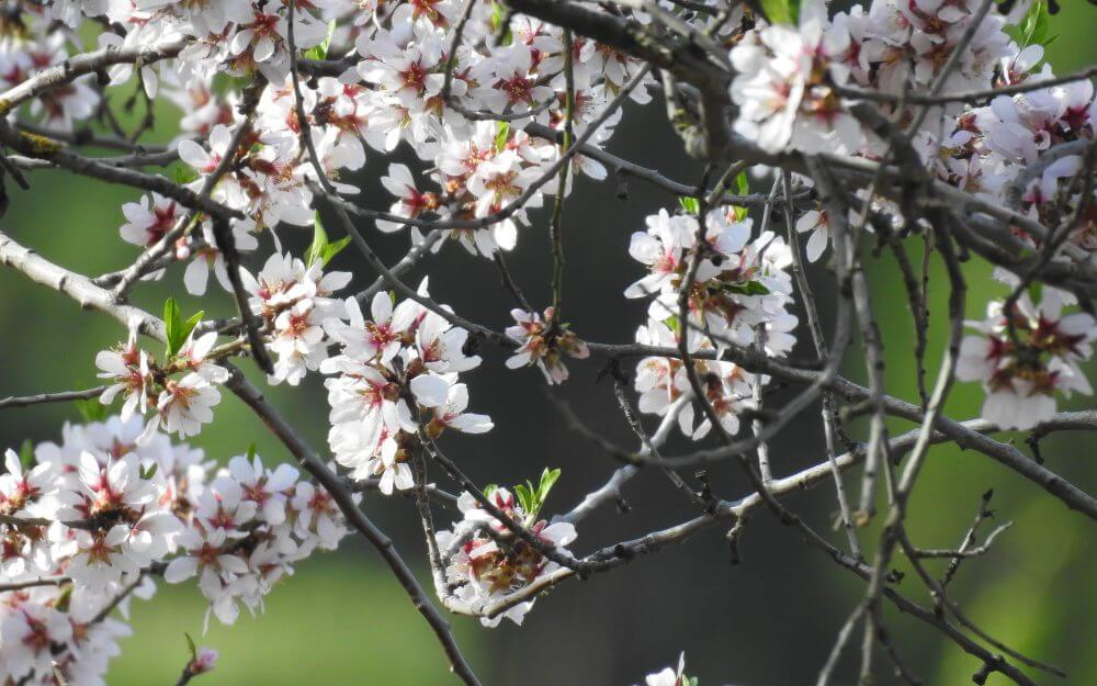 Almond tree flowers blossoming